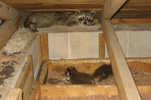 animals in attic